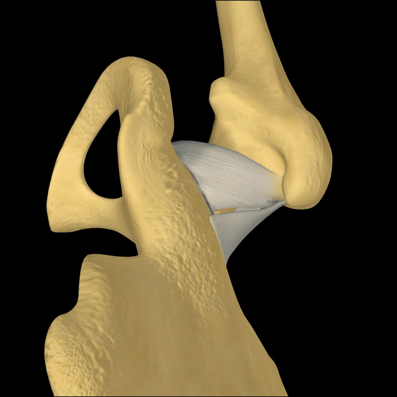 Anatomyexpert Ischiofemoral Ligament Structure Detail