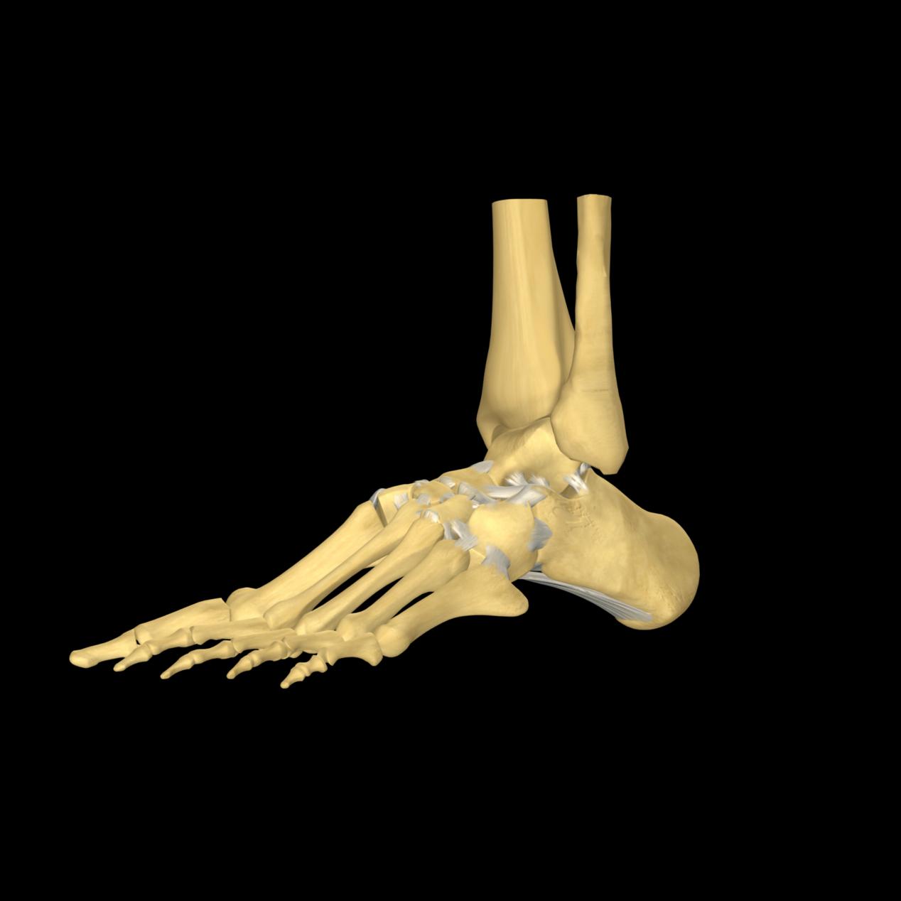 anatomyEXPERT - Posterior talocalcaneal ligament - Structure Detail