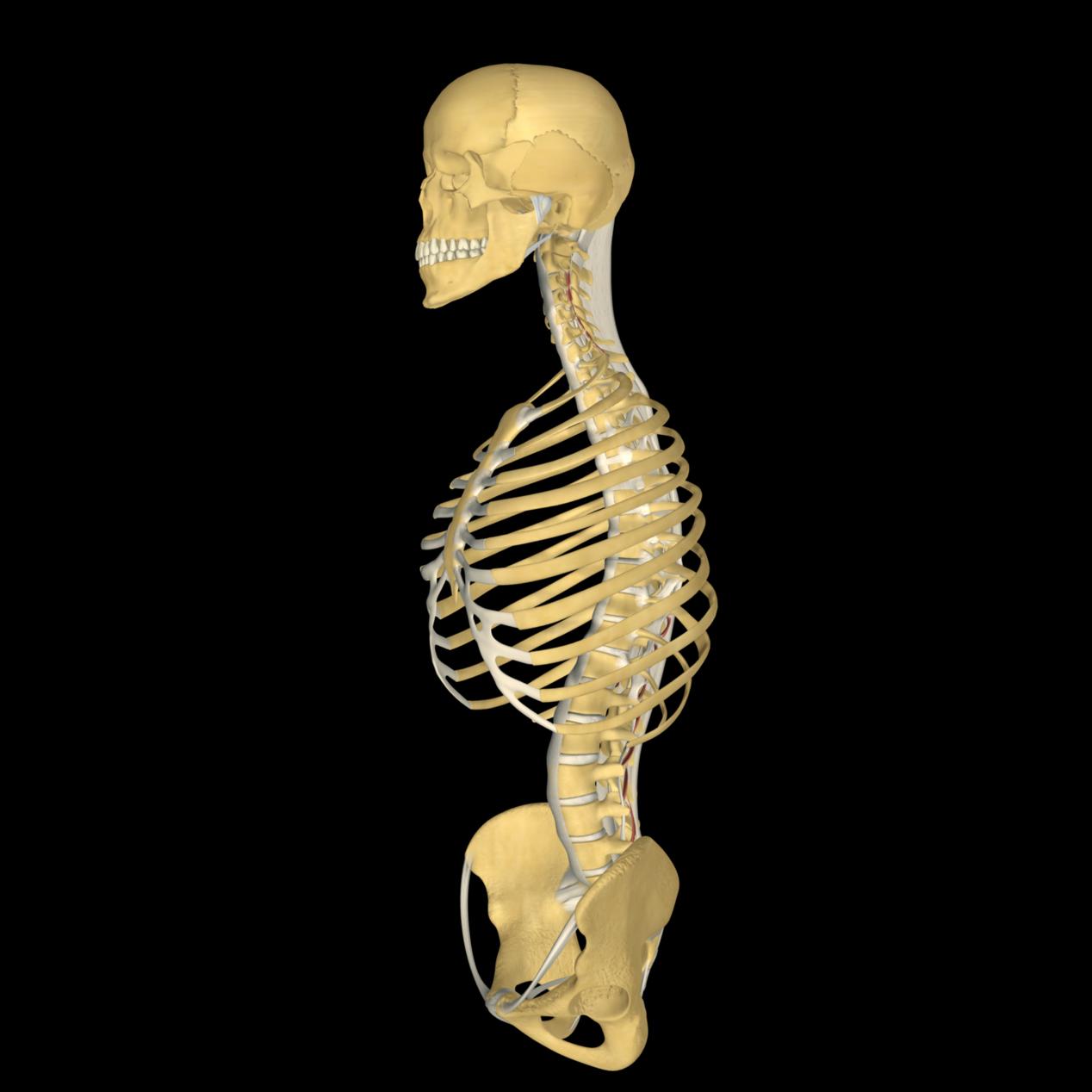 anatomyEXPERT - Supraspinous ligaments - Structure Detail
